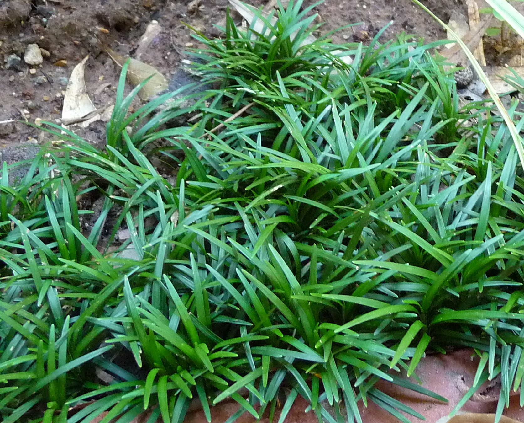 Ophiopogon japonicus cultivated for Dwarf ornamental grass plants